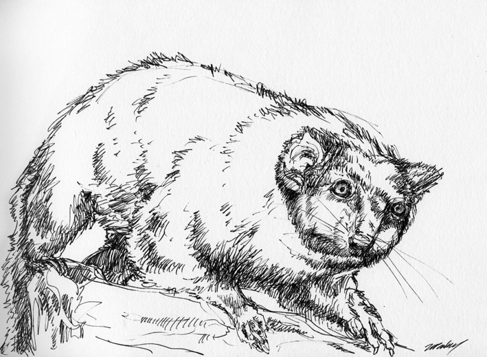 Ring tail possum - drawn with micron pigma pen